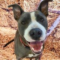 Adopt A Pet :: 36599742 - Land O'Lakes, FL