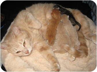 Domestic Shorthair Kitten for adoption in Jeffersonville, Indiana - Stormy's kittens