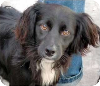 Field Spaniel/Spaniel (Unknown Type) Mix Dog for adoption in Los Angeles, California - Tucker *VIDEO*