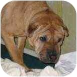 Shar Pei Mix Dog for adoption in Bethesda, Maryland - Zippers