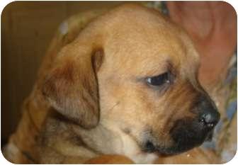 Boxer/Labrador Retriever Mix Puppy for adoption in Old Bridge, New Jersey - Destiny