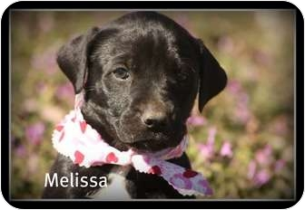 Labrador Retriever Mix Puppy for adoption in Cranford, New Jersey - Melissa