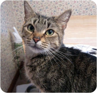 Domestic Shorthair Cat for adoption in N. Billerica, Massachusetts - Treasure