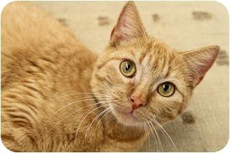 Domestic Shorthair Cat for adoption in Baton Rouge, Louisiana - Ella Louise