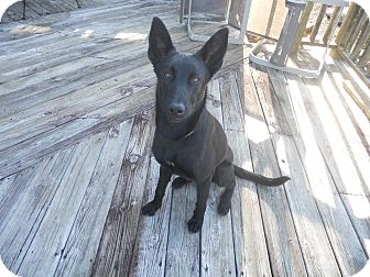 German Shepherd Dog Mix Puppy for adoption in Greeneville, Tennessee - Ambi