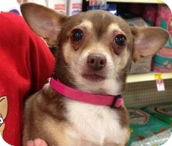 Chihuahua Mix Dog for adoption in Mesa, Arizona - Princess Di