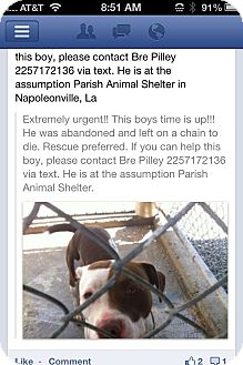 American Pit Bull Terrier Mix Dog for adoption in Donaldsonville, Louisiana - Petey