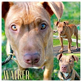 American Pit Bull Terrier Mix Dog for adoption in Garden City, Michigan - Walker