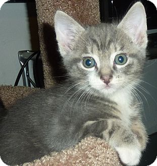 American Shorthair Kitten for adoption in Stanford, California - Adopt cutie-pie Prince James!