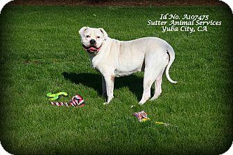 American Bulldog/Boxer Mix Dog for adoption in Yuba City, California - 10/30 Bruno