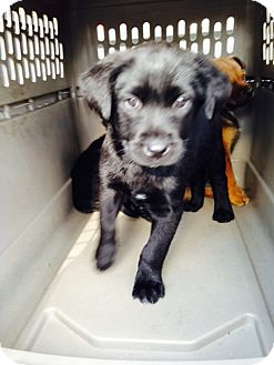 Labrador Retriever Mix Puppy for adoption in Shelter Island, New York - Gabby