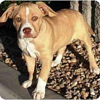 Adopt A Pet :: Valentine - Gilbert, AZ