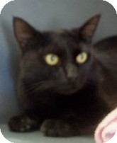 Domestic Shorthair Cat for adoption in Silver City, New Mexico - Kodia