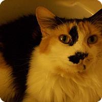 Calico Cat for adoption in Long Beach, California - CAKE ~ Fluffy & Fun!