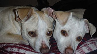 Chihuahua Mix Dog for adoption in Arenas Valley, New Mexico - Cornbread Succotash & Peabody