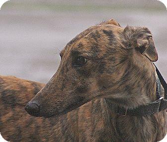 Greyhound Dog for adoption in Portland, Oregon - Lean