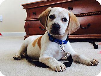 Treeing Walker Coonhound/Beagle Mix Puppy for adoption in Apex, North Carolina - Mason