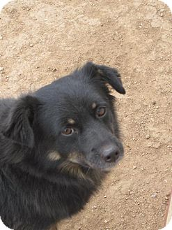 Pomeranian Mix Dog for adoption in Las Cruces, New Mexico - Brodi
