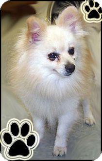 Pomeranian Dog for adoption in Kirkland, Quebec - Rocky
