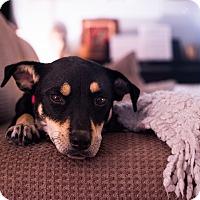 Adopt A Pet :: Kitsey - Austin, TX