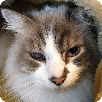 Domestic Longhair Cat for adoption in Port Angeles, Washington - Toby