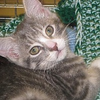 Domestic Mediumhair Cat for adoption in New City, New York - Seeking Volunteers to Foster Cats