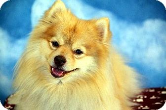 Pomeranian Dog for adoption in Dallas, Texas - Champ