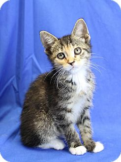 Domestic Shorthair Kitten for adoption in Winston-Salem, North Carolina - Hestia