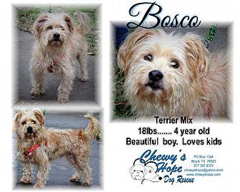Welsh Terrier/Shih Tzu Mix Dog for adoption in Boyd, Texas - Bosco