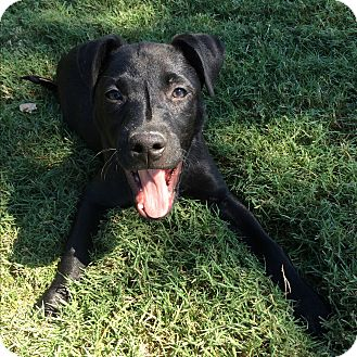 Labrador Retriever Mix Puppy for adoption in Greenfield, Wisconsin - Chloe