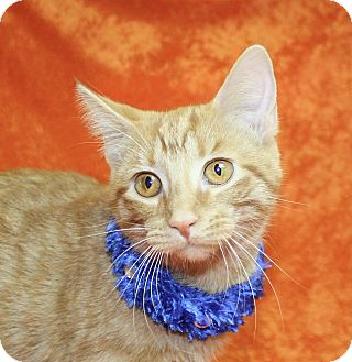Domestic Shorthair Kitten for adoption in Jackson, Michigan - Sarah