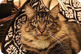 Maine Coon Cat for adoption in Santa Ana, California - Kodiak (Giant cuddler!)