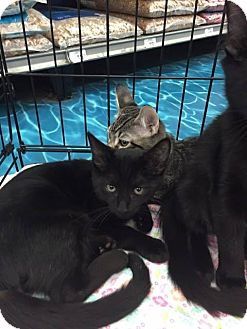 Domestic Mediumhair Cat for adoption in Mansfield, Texas - Jonathan