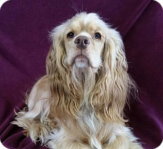 Cocker Spaniel Dog for adoption in Urbana, Ohio - Williard Montgomery