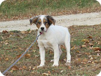 Australian Shepherd/Hound (Unknown Type) Mix Puppy for adoption in Hartford, Connecticut - BLAISE