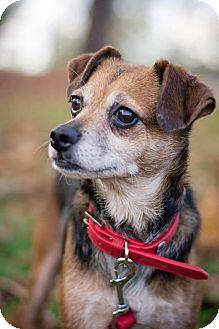 Beagle/Chihuahua Mix Dog for adoption in Cincinnati, Ohio - Jazzy- WAIVED FEE