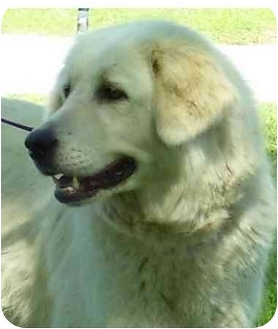 Great Pyrenees Mix Dog for adoption in Kyle, Texas - Jacque