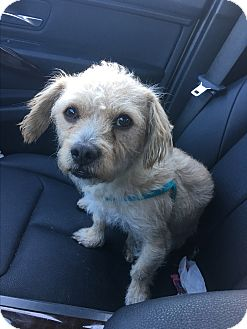 Terrier (Unknown Type, Small) Mix Dog for adoption in Culver City, California - Comet