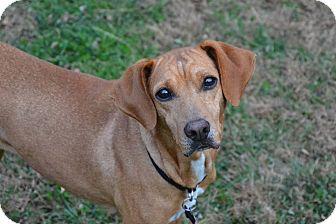 Redbone Coonhound/German Pinscher Mix Dog for adoption in Cincinnati, Ohio - Ella: Fairfax