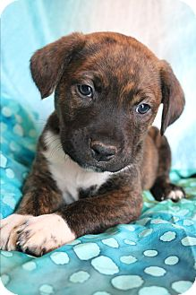 Labrador Retriever/Boxer Mix Puppy for adoption in Hagerstown, Maryland - Gianni