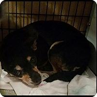Adopt A Pet :: Margirita - Hurst, TX