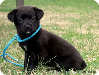 Golden Retriever/Labrador Retriever Mix Puppy for adoption in parissipany, New Jersey - JEMMA/ADOPTED