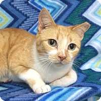 Domestic Shorthair Cat for adoption in Tampa, Florida - Cheyanne