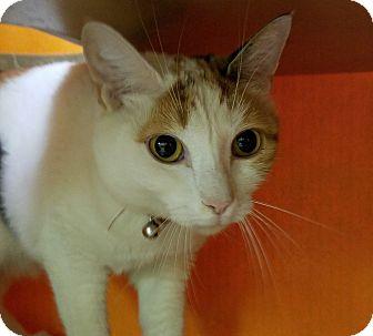 Calico Cat for adoption in Elyria, Ohio - Brownie