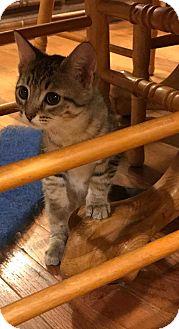 Domestic Shorthair Kitten for adoption in Covington, Kentucky - Jade