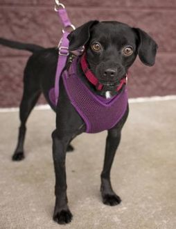 Chihuahua/Dachshund Mix Dog for adoption in Florence, Alabama - Shadow