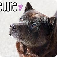 Adopt A Pet :: Chewie - Newport, KY