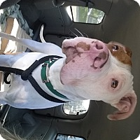 Adopt A Pet :: Broozer - Eastpointe, MI