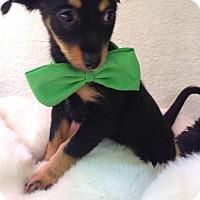 Adopt A Pet :: James - Monrovia, CA