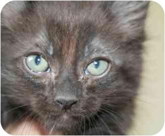 Manx Kitten for adoption in tucson, Arizona - Frazier
